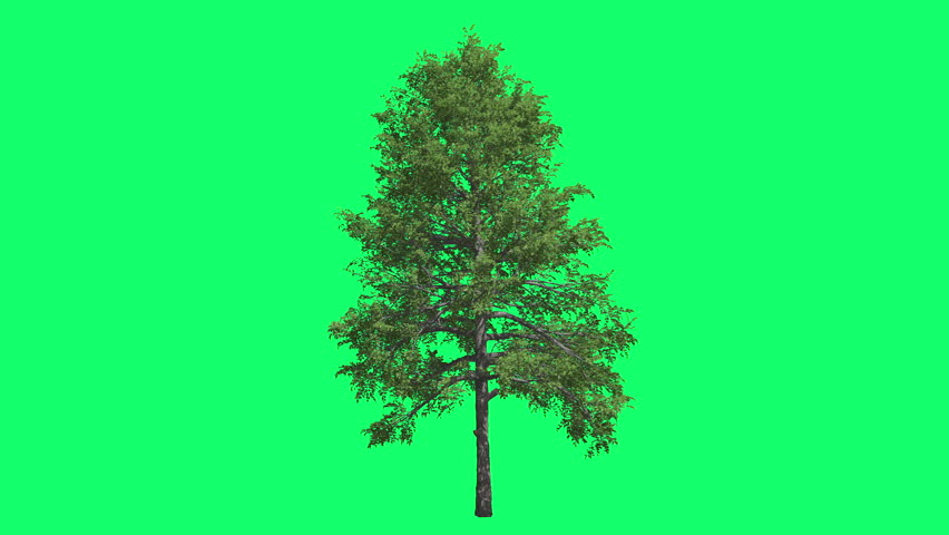 Black Gum Chromakey Swaying Tree Branches Green Swaying Branches Windy Croma Key Alfa Green Background Green Screen outdoors studio summer sunny day breeze | Shutterstock HD Video #11335766