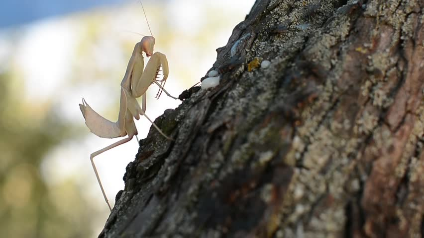 Praying Mantis hunting and eating | Shutterstock HD Video #11374133