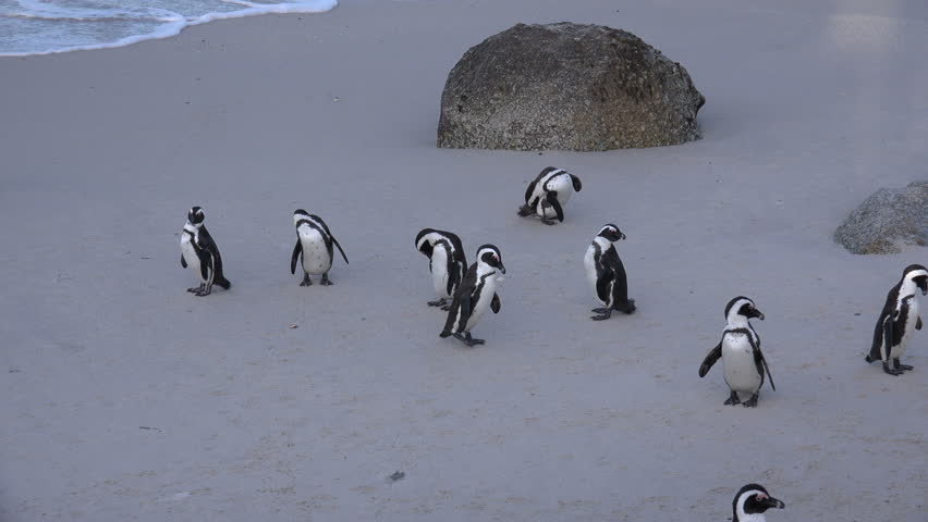 African penguins at Boulder's Beach near Cape Town, South Africa - 4K stock video clip