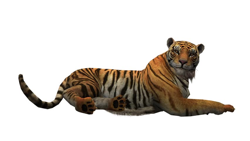 Tiger lying down to rest,wildlife animals habitat.stripes pattern. cg_02074 | Shutterstock HD Video #11465627