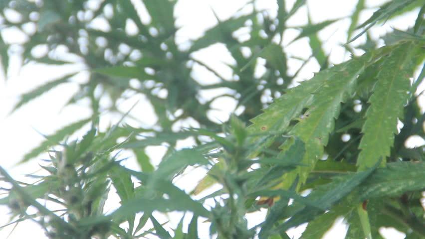 Cannabis growing in the wild   Shutterstock HD Video #11465681