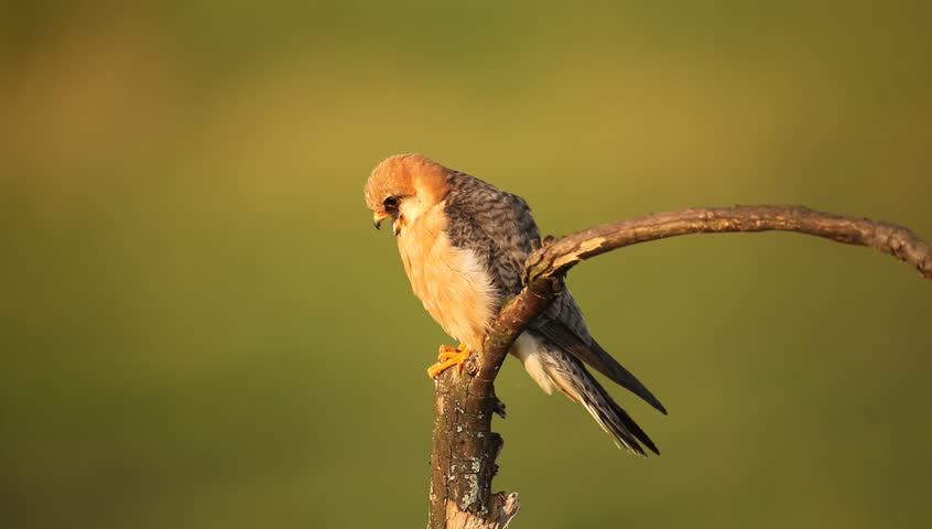 Bird Red-footed Falcon, Falco vespertinus, sitting on branch with clear green background, Hungary