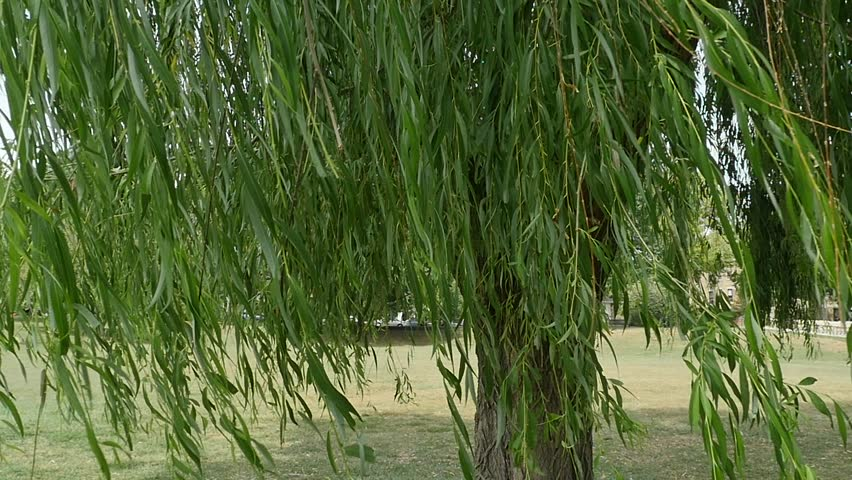 Willow Tree Blowing in Wind and Looking Through Tree - HD stock footage clip