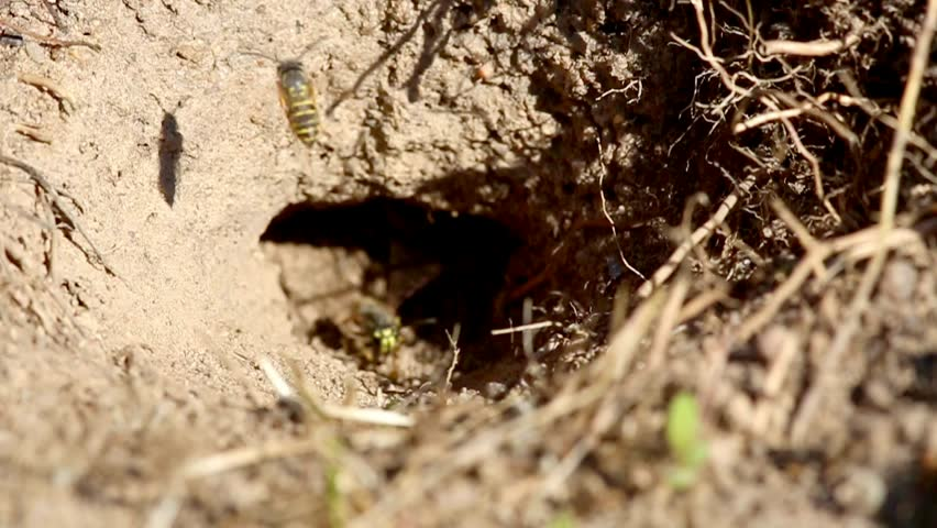 Wasp flies over his burrow  - HD stock footage clip