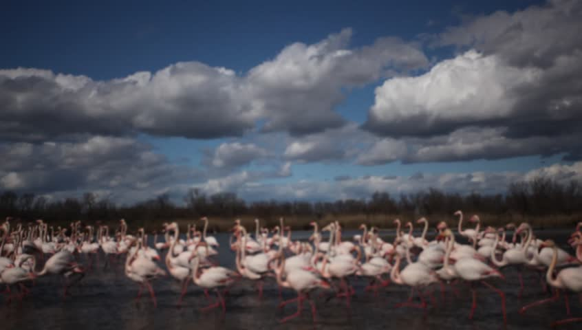 Flock of nice pink big bird Greater Flamingo, Phoenicopterus ruber, in the water with blue sky with clouds, Camargue, France - HD stock video clip