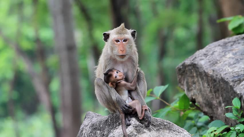 Monkey nursing child - HD stock video clip