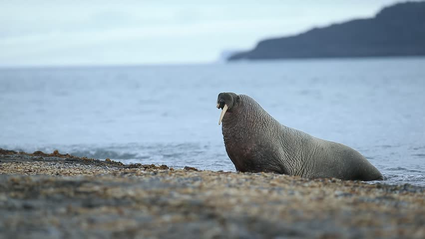 The walrus, Odobenus rosmarus, stick out from blue water on pebble beach, Svalbard, Norway