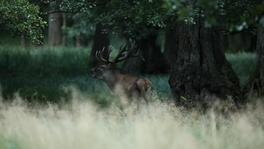 Bellow majestic powerful adult red deer stag in green forest, Dyrehave, Denmark