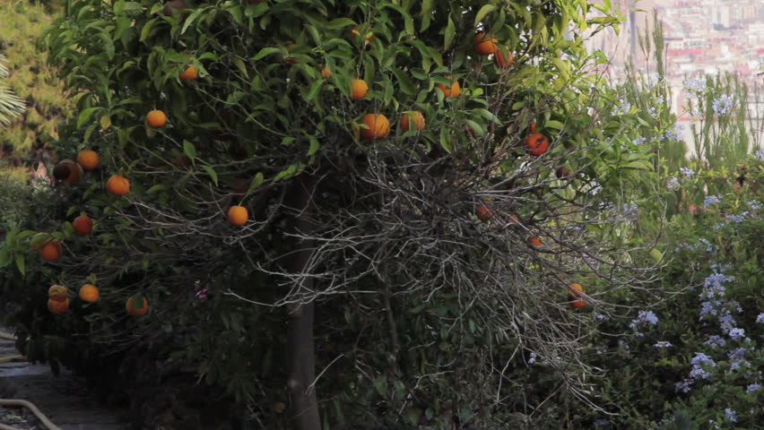 Orange tree, Park Guell. Orange tree in Park Guell located in Barcelona. - HD stock footage clip