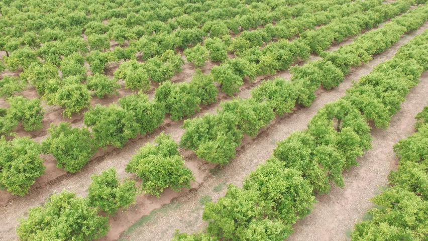 Top view of orange tree field with green oranges, aerial view in 4k