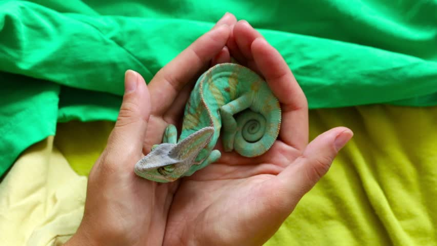 A young chameleon sits in your hands | Shutterstock HD Video #11643629