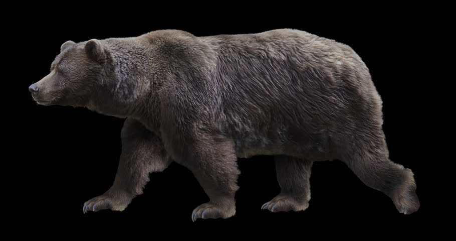 Isolated brown grizzly bear cyclical walking. Can be used in real coloring, and as a silhouette.