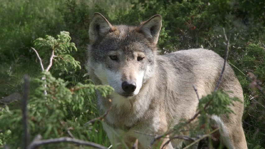 Wolf standing left side view sniffing