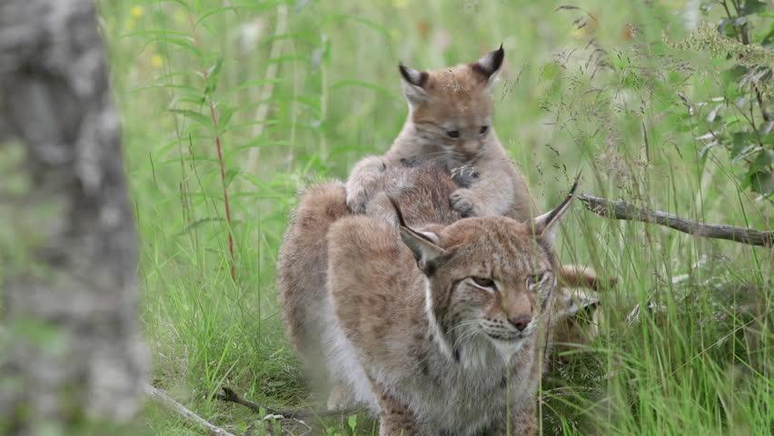 Lynx Stock Footage Video 4097545