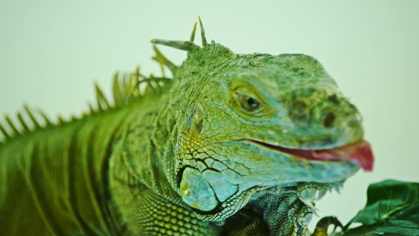 3K Green iguana on grey white  background. Close-Up View Of Iguana. - HD stock video clip