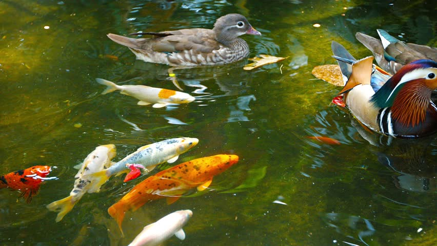 Video 1080p small group of colorful mandarin ducks for Decorative pond fish