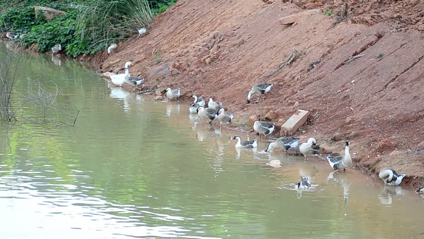 Group of thai goose on the river - HD stock video clip