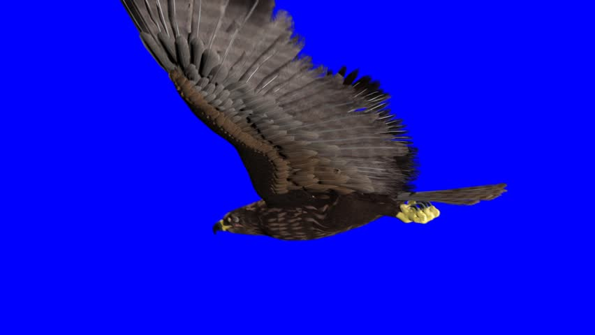 isolated eagle on blue-screen - HD stock video clip