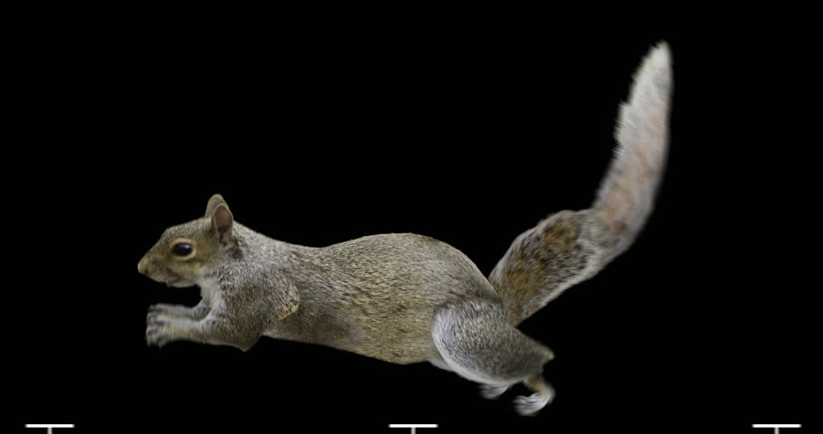 Isolated squirrel cyclical running. You can use in real coloring, and as a silhouette. #11821478