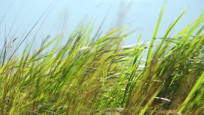 Long green grass moving in the wind - HD stock video clip