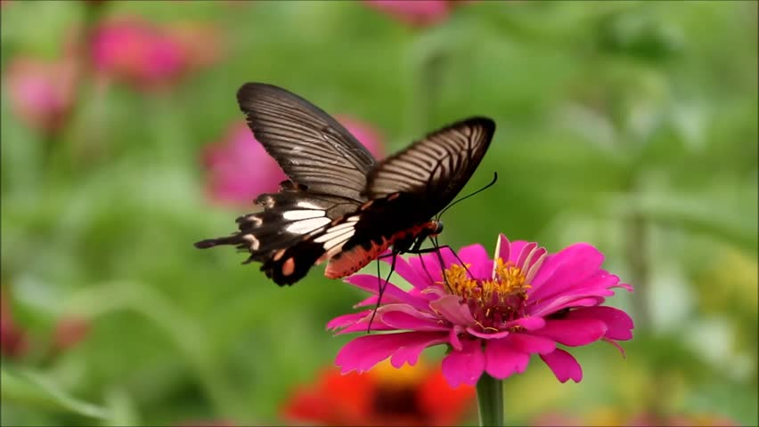 Butterflies are nectar on the flowers - HD stock footage clip