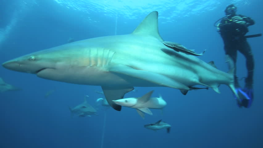 ALIWAL SHOAL, DURBAN, SOUTH AFRICA - JUN 20: Oceanic blacktip sharks, tuna, grouper and other fish on baited scuba dive on June 20, 2015 at Aliwal Shoal, Durban, South Africa  - HD stock footage clip