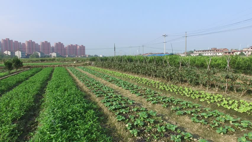 bok choi and baby cabbage planted in the countryside