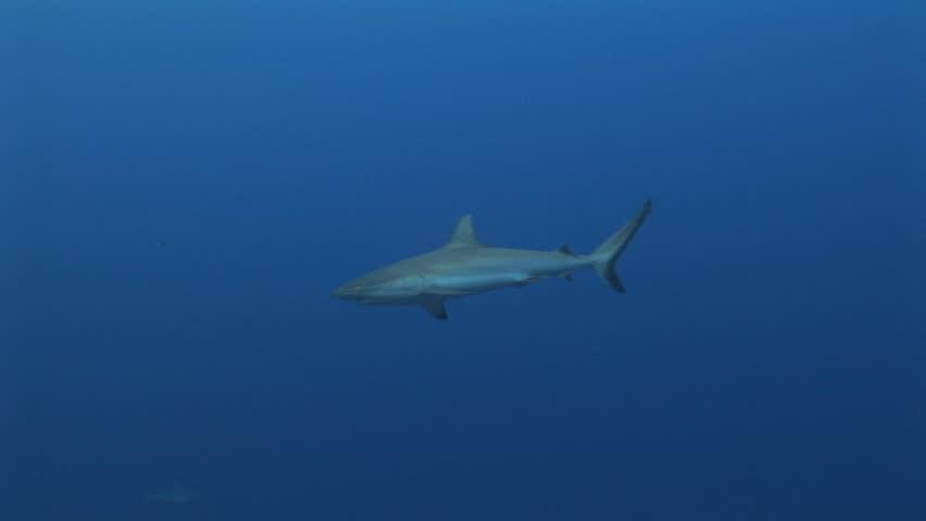 Grey Reef shark swimming along the reef with blue water background, Yap, Micronesia, Pacific Ocean - HD stock footage clip