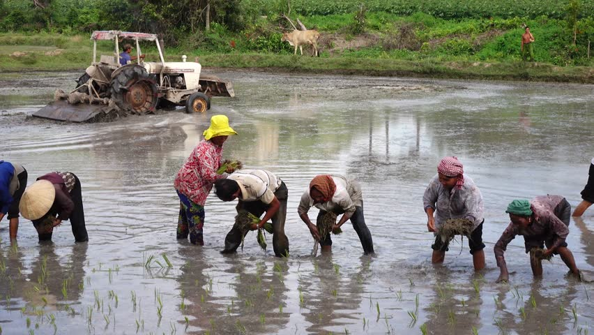 KAMPONG TRACH, CAMBODIA - SEP 26,2015: Working and joking together on the rice field