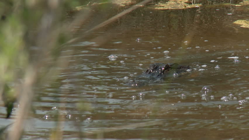 An alligator in a South Carolina swamp. - HD stock footage clip