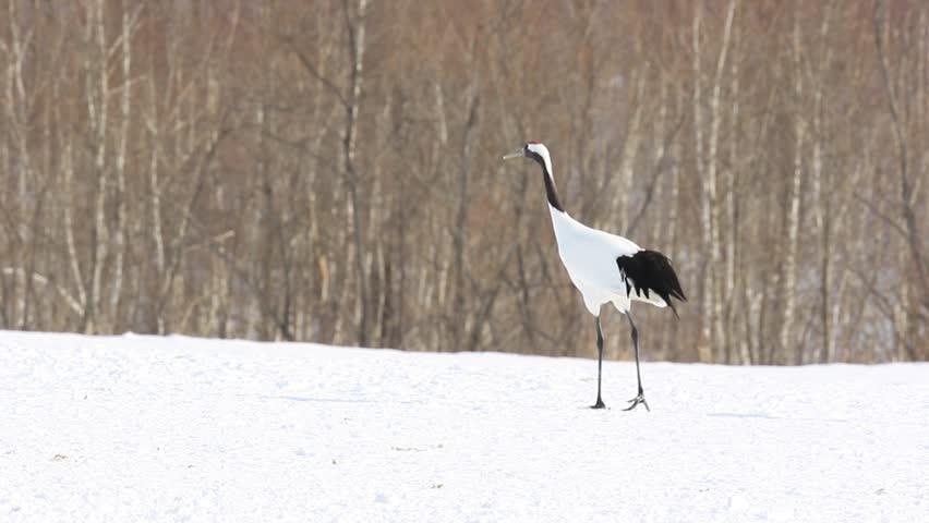White bird Red-crowned crane, Grus japonensis, with snow storm, Hokkaido, Japan