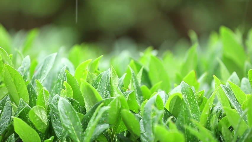 Detail of rain falling onto green plants in summer