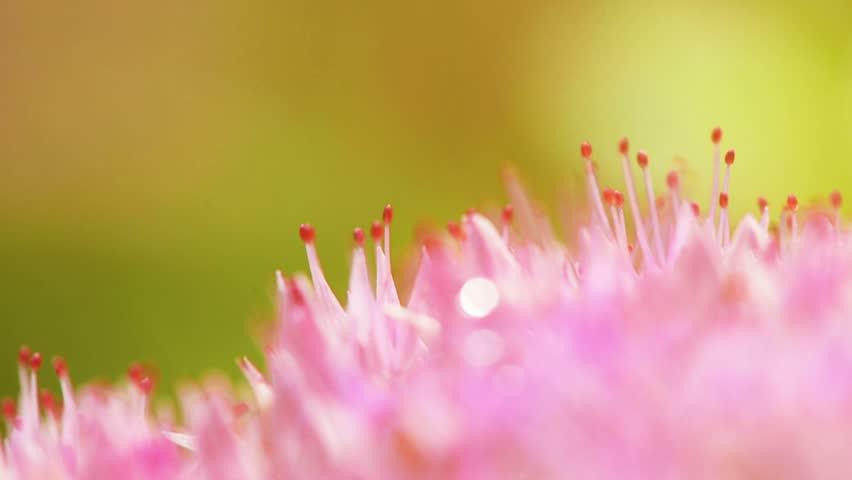 Macro shot of pink flower - HD stock video clip