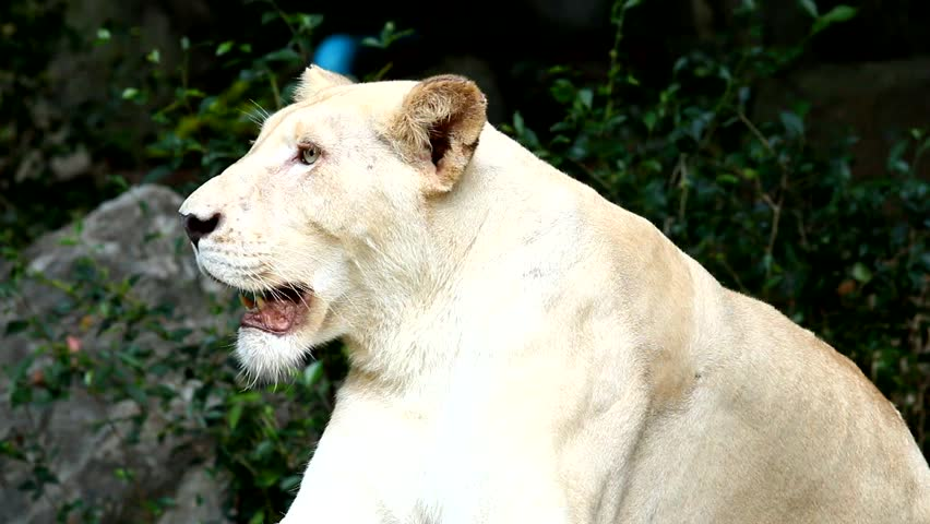 White lion in chiangmai zoo Thailand | Shutterstock HD Video #12184295