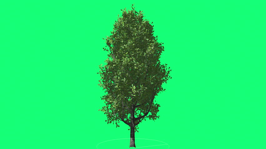 Cypress Oak Chromakey Green Tree Chroma Key Alfa Green Background Swaying at the Wind Sun Rays, Fluttering Branches, Leaves, breeze, outdoors, studio, sunny day, spring, summer - 4K stock video clip