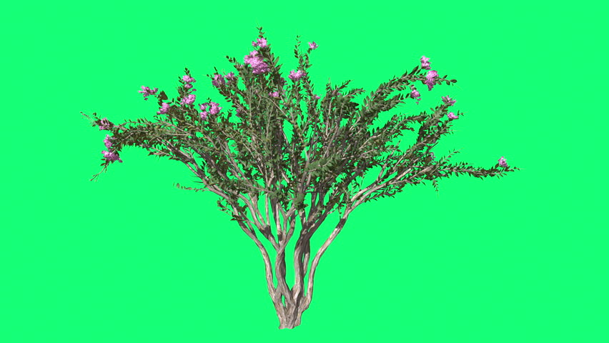 Crape Myrtle, Cromakey ,Lagerstroemia, Chroma, Key Alfa, Green Background, Tree, Bush Swaying at the Wind, Pink Flowers, Fluttering Branches, Leaves, breeze, outdoors, studio, sunny day, spring, - 4K stock video clip