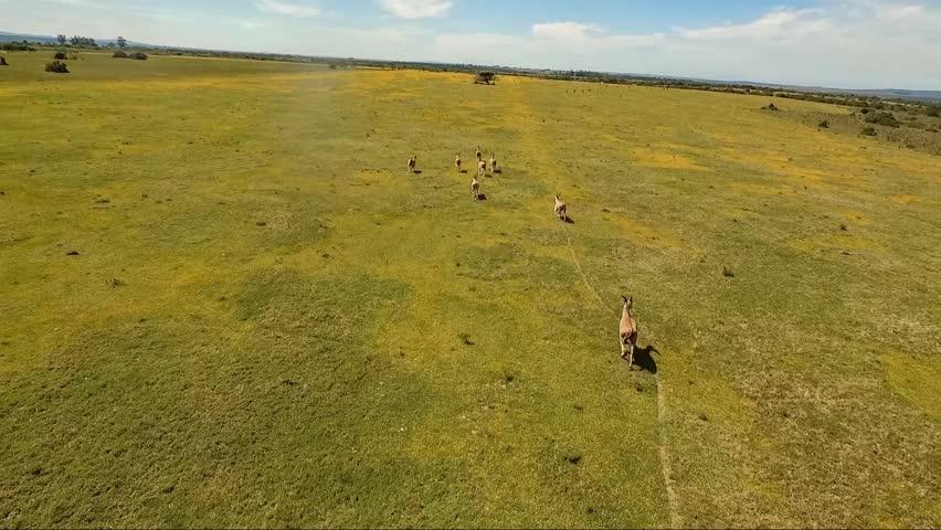 Eland Antelope aerial video - HD stock footage clip