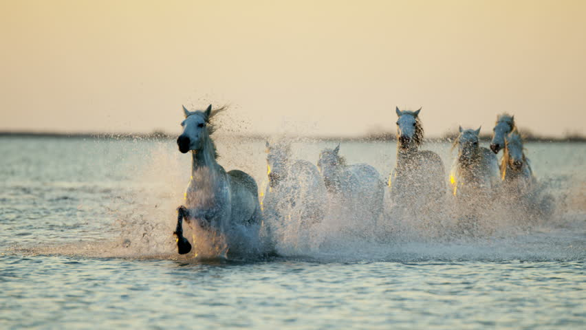 Camargue animal horses France sunrise wildlife herd grey livestock running water Mediterranean nature outdoors marshland freedom RED DRAGON #12292817