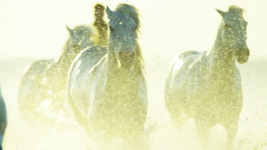 Camargue, France animal horse wild white livestock sunset rider cowboy running water Mediterranean nature Stallion Gelding RED DRAGON