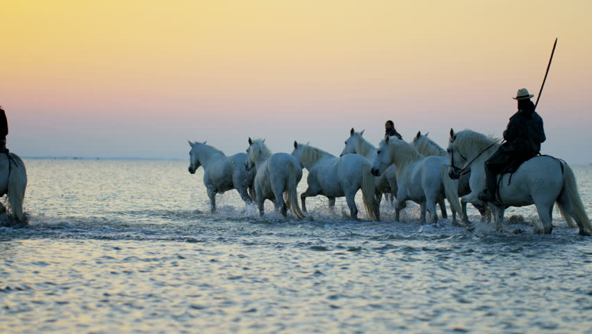 Camargue animal horse France sunrise wildlife white livestock rider running cowboy water Mediterranean outdoors wetland freedom RED DRAGON | Shutterstock HD Video #12328367