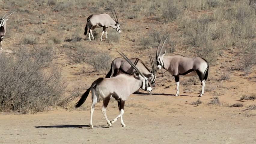 Gemsbok Antelopes (Oryx Gazella) Eating Salty Soil ...