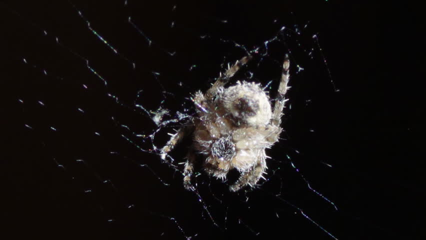 The spider sitting in the middle of the round web. | Shutterstock HD Video #12390287