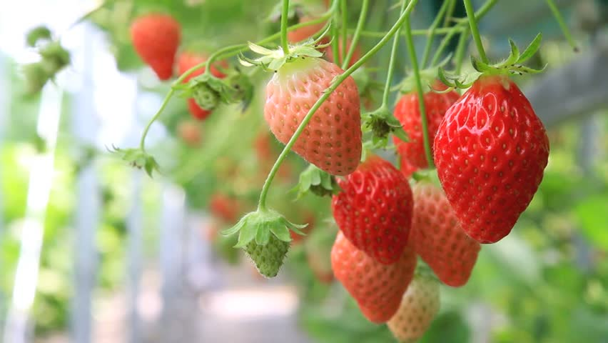 strawberry in the plantation