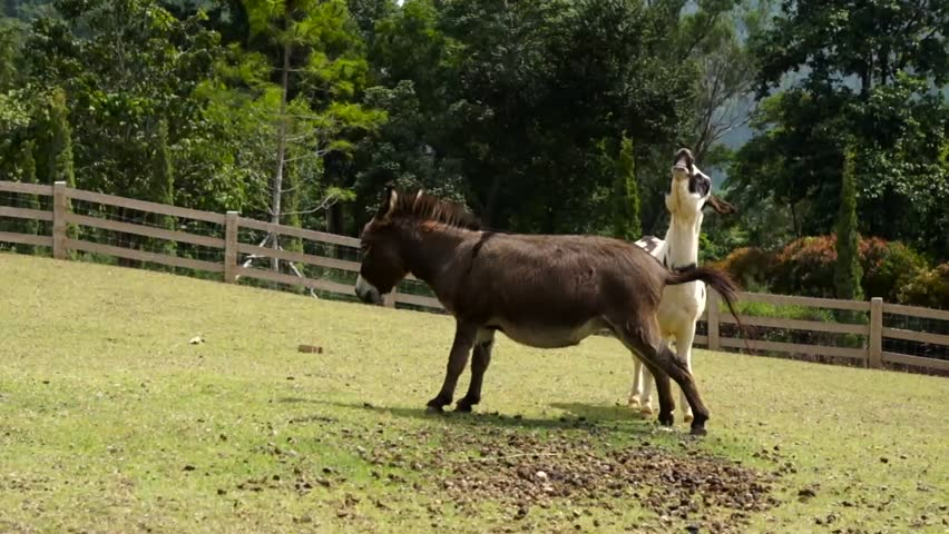 Donkey tease each other in a farm - HD stock video clip