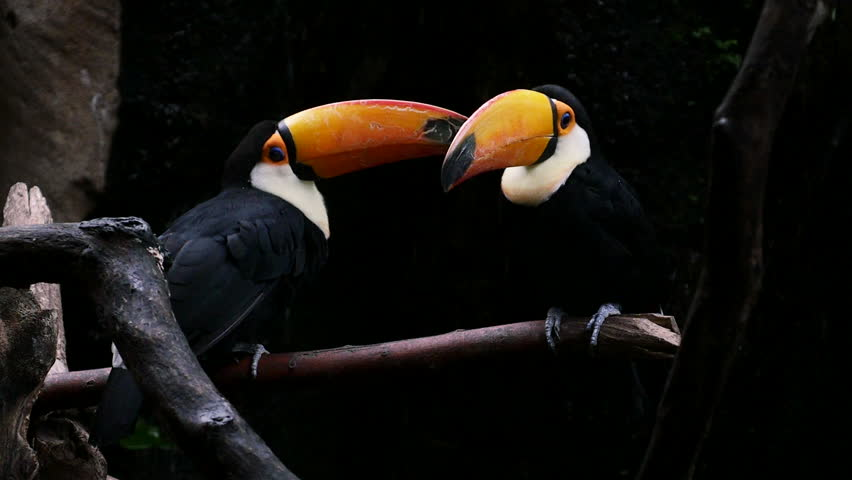 Toucans couple.Faunia, Madrid. Filmed in November 2015. | Shutterstock HD Video #12588638