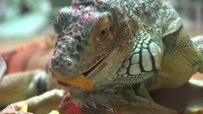 Close Up Iguana Eat Carrot. 4K UltraHD, UHD - 4K stock video clip