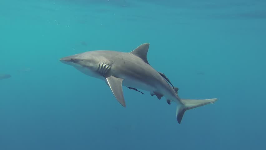 Sharks swimming in ocean over the coral reef  - HD stock video clip