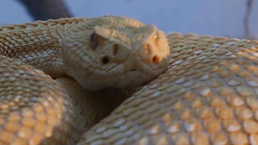 Albino rattlesnake. Zoo Madrid, Spain. Filmed in November 2015. | Shutterstock HD Video #12753113