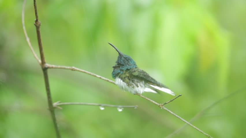 Hummingbird White-necked Jacobin, Florisuga mellivora, in the rain, Costa Rica