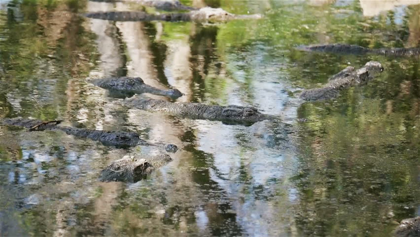Crocodiles in a lake. Full frame video footage of a lake full of crocodiles cooling off from the heat of the midday sun. - HD stock footage clip